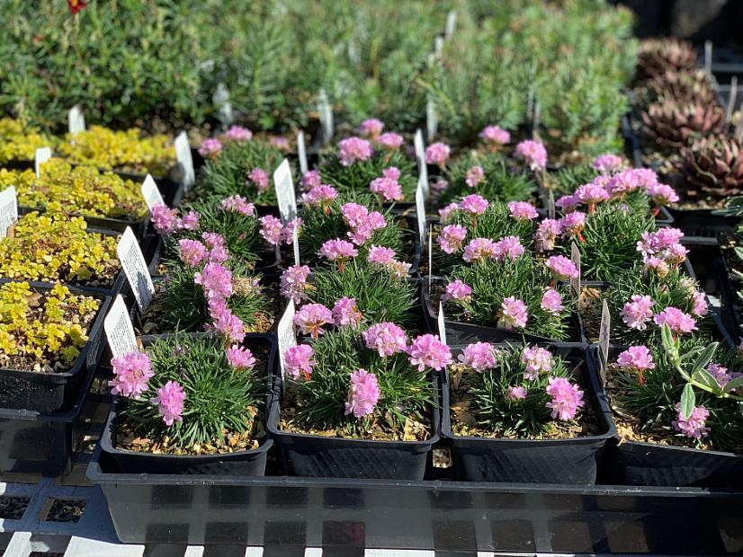 Armeria juniperifolia 'Rosa Stolz' - Thrift