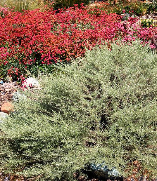 Artemisia californica 'Montara' - California sagebrush
