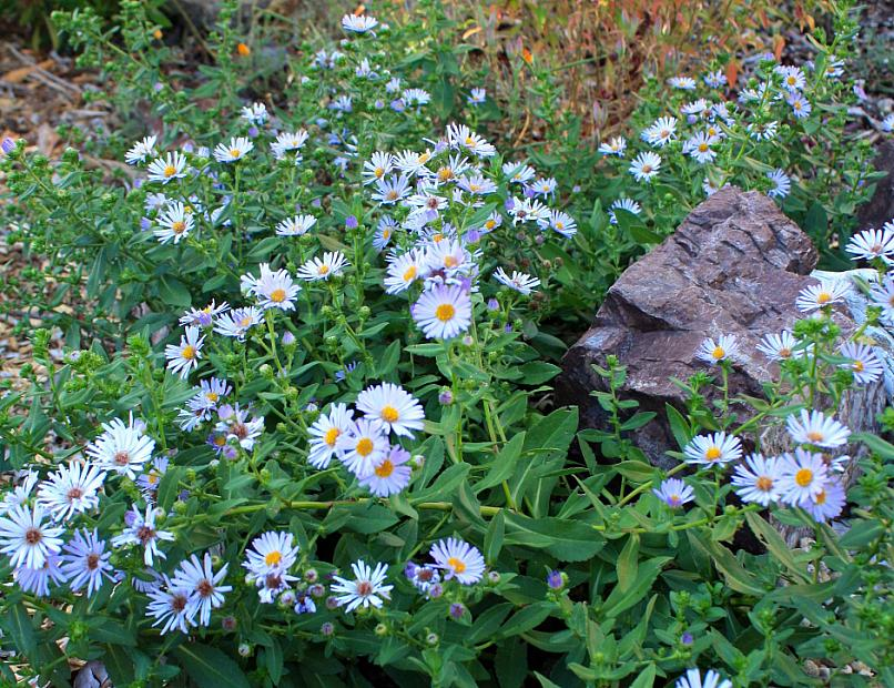 Aster chilensis 'Point St. George' - Beach daisy