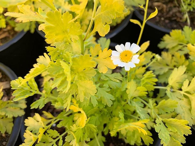 Tanacetum partheneium 'Aureum' - Golden feather