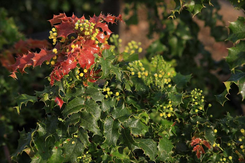 Berberis 'Ken Hartman' - Oregon grape