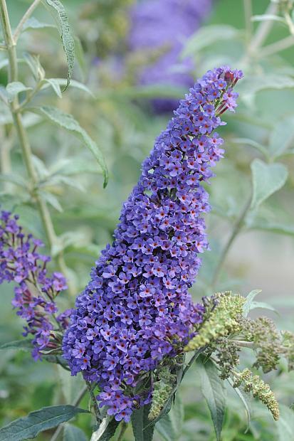 Buddleja 'Buzz™ Sky Blue' - Butterfly Bush, Summer Lilac