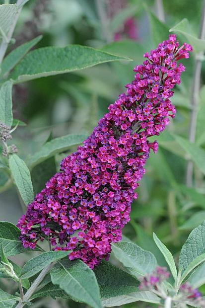 Buddleja Buzz™ 'Velvet' - Buttefly bush