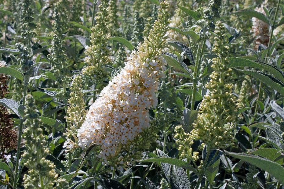 Buddleja 'Buzz™ Ivory' - Butterfly bush