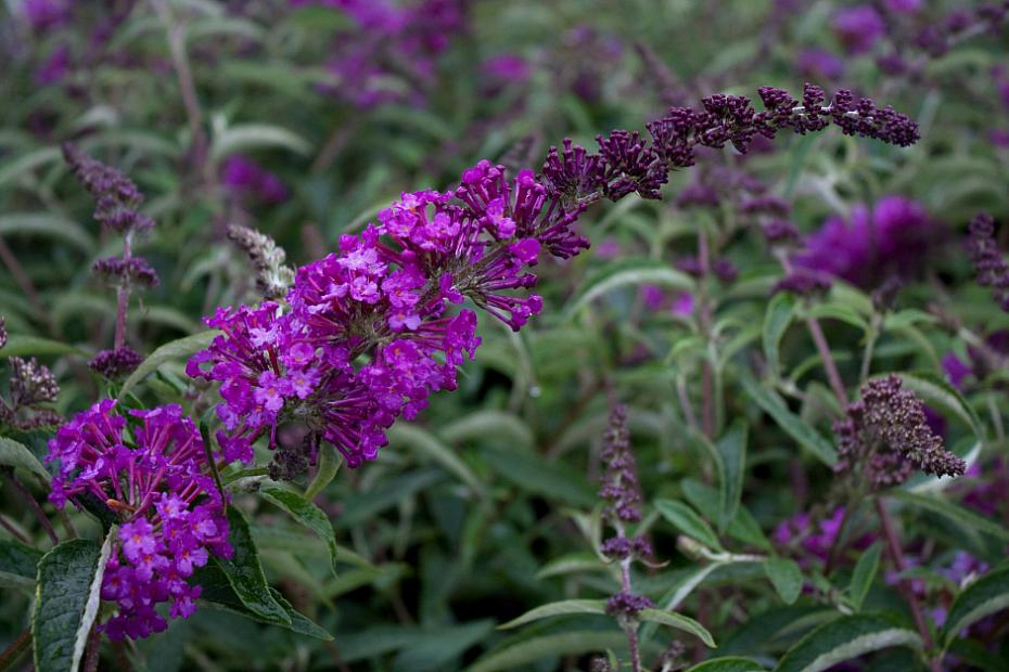 Buddleja 'Buzz™ Pink Purple' - Butterfly bush
