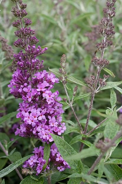 Buddleja 'Buzz™ Violet' - Butterfly bush