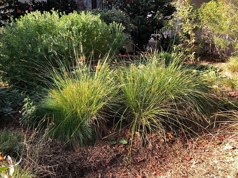 Carex appressa - Tall sedge