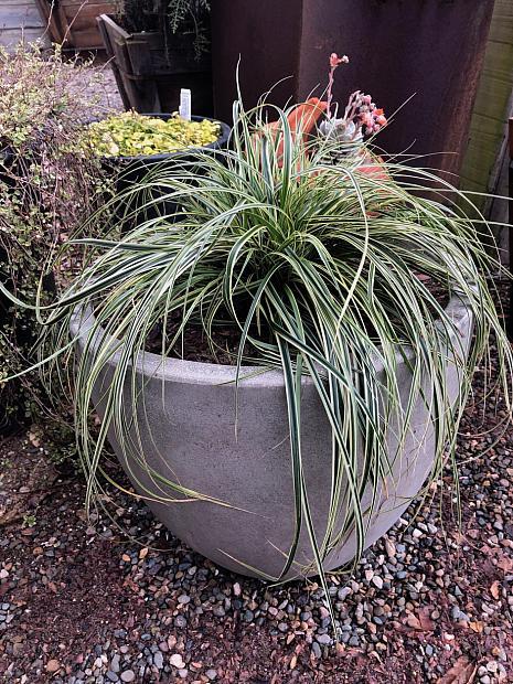 Carex 'Feather Falls' - Feather Fall sedge