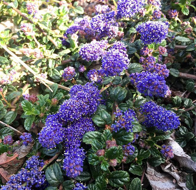 Ceanothus hearstiorum - California lilac