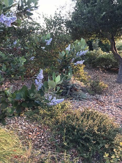 Ceanothus arboreus 'Cliff Schmidt' - Feltleaf ceanothus