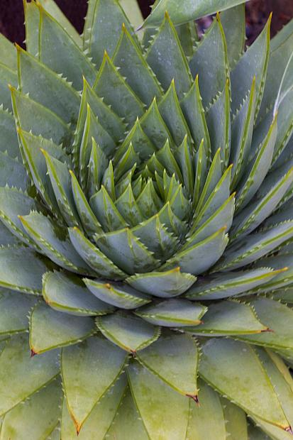 Aloe polyphylla 'Swirl' - Spiral aloe
