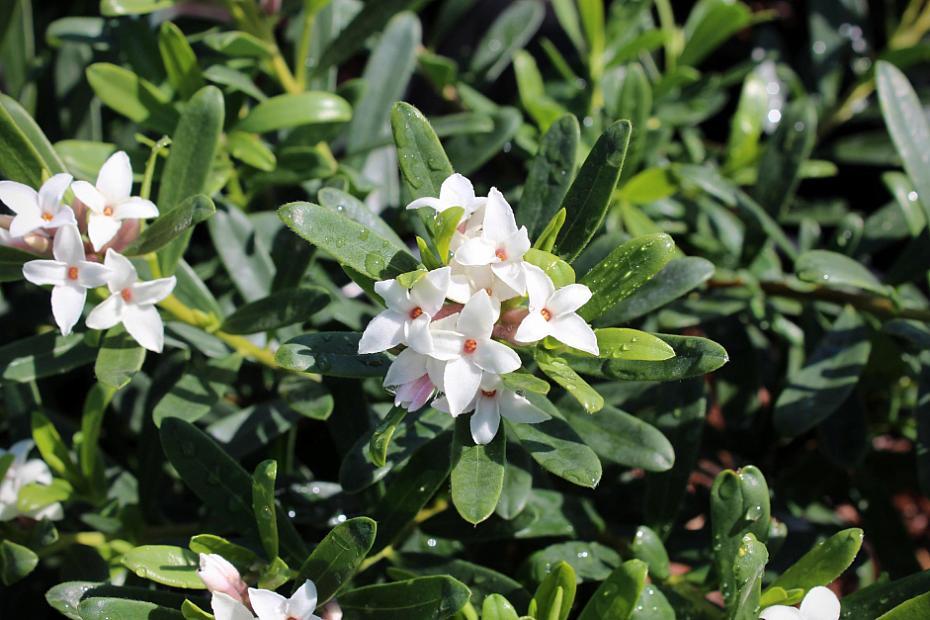 Daphne x transatlantica 'Eternal Fragrance' - Eternal Fragrance daphne