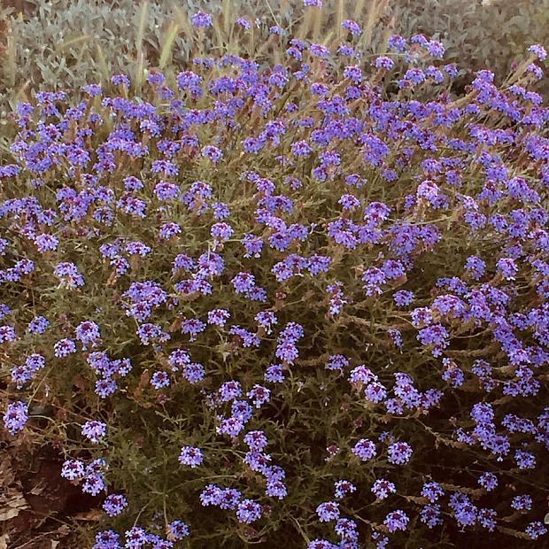 Verbena lilacina 'De la Mina' - Cedros Island vervain