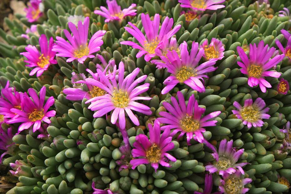 Delosperma sphalmanthoides - Tufted ice plant