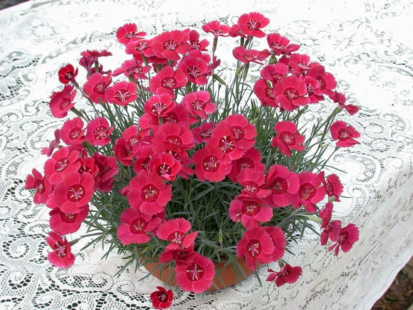Dianthus 'Eastern Star' - Pink