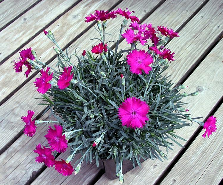 Dianthus 'Neon Star' - Pink