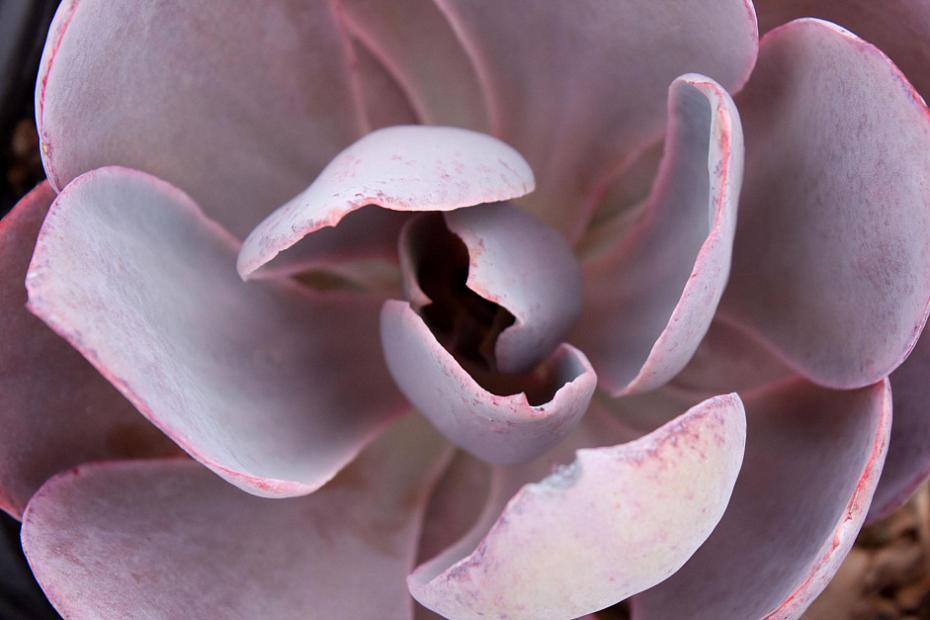 Echeveria 'Afterglow' - Echeveria