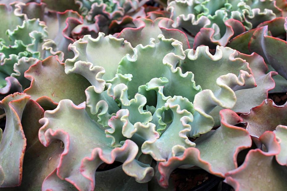 Echeveria gibbiflora hybrids - Echeveria