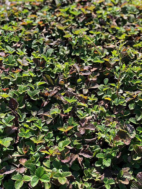 Fragaria vesca californica 'Montana de Oro' - Woodland strawberry