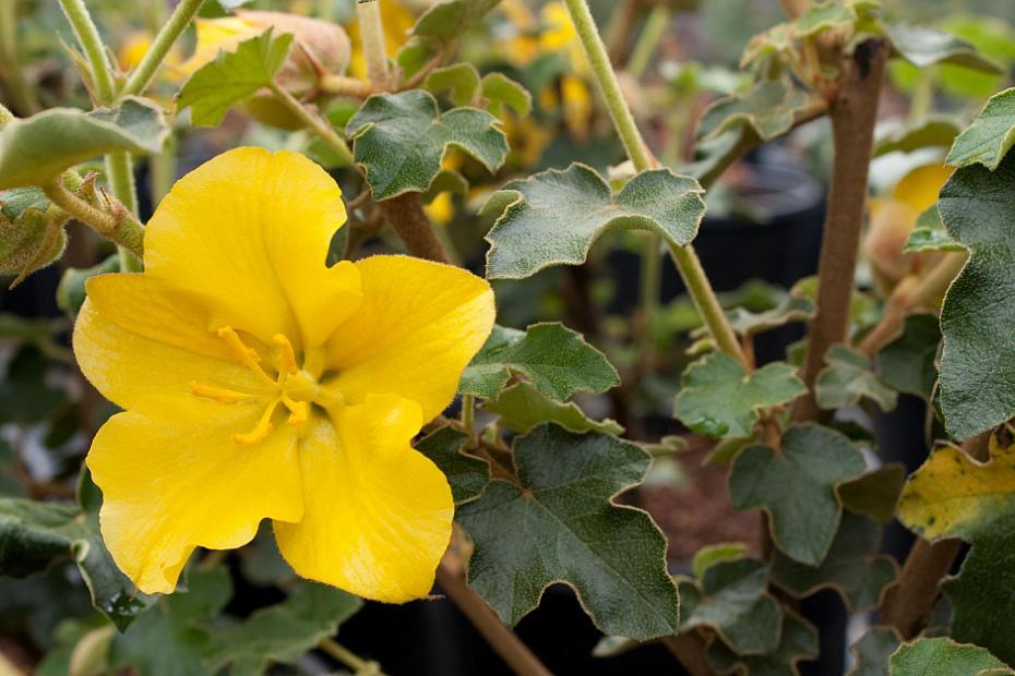 Fremontodendron 'San Gabriel' - Flannel bush