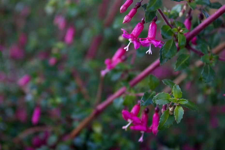 Fuchsia thymifolia - Thyme-leafed fuchsia