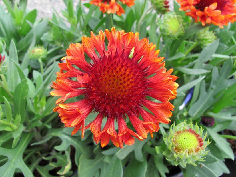 Gaillardia x grandiflora 'Fanfare Blaze' - Blanket flower