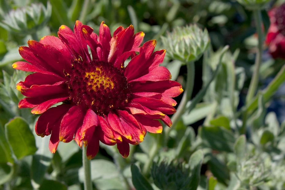 Gaillardia aristata 'Gallo Red' - Blanket flower