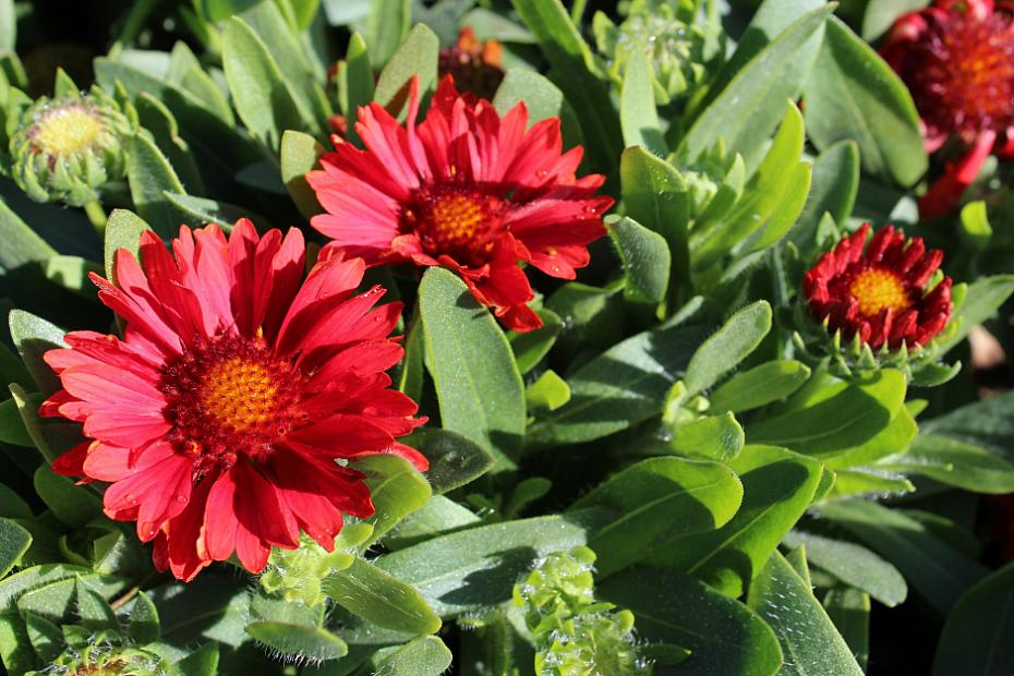 Gaillardia x grandiflora 'Celebration' - Blanket flower