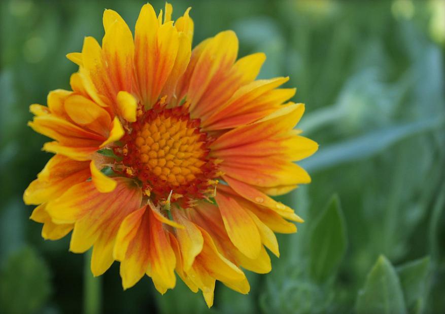 Gaillardia x grandiflora 'Oranges and Lemons' - Blanket flower