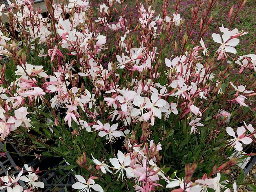 Gaura lindheimeri 'Whirling Butterflies' - Wand flower