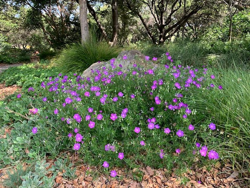 Geranium incanum - Cranesbill