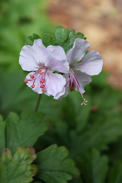 Geranium x cantabrigiense 'Biokovo' - Cranesbill