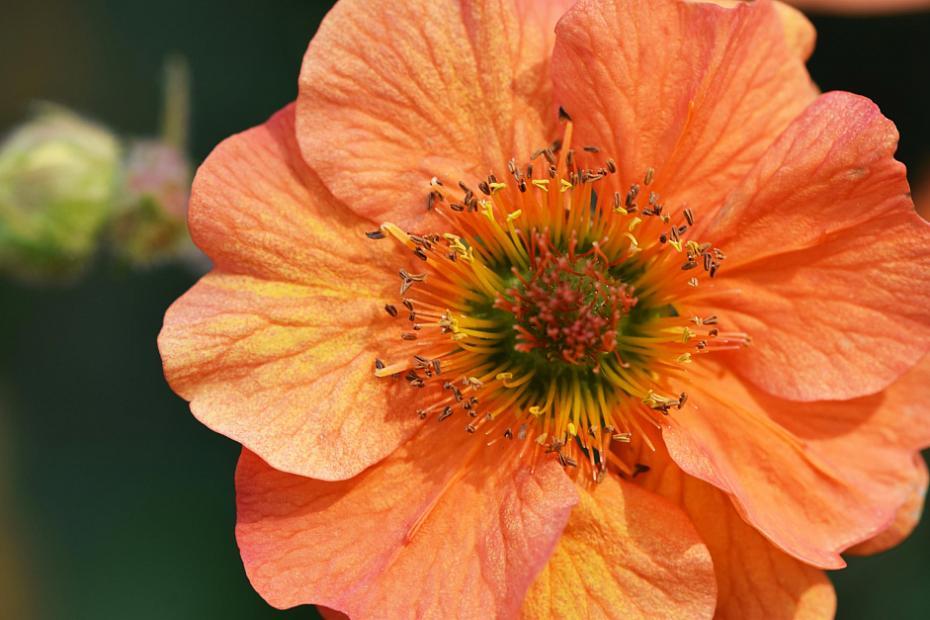 Geum 'Totally Tangerine' - Avens