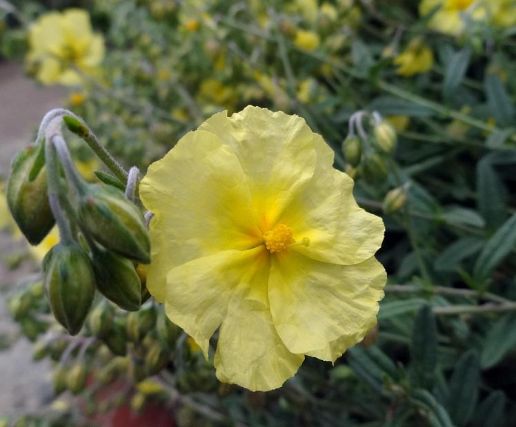 Helianthemum 'Wisely Primrose' - Sunrose