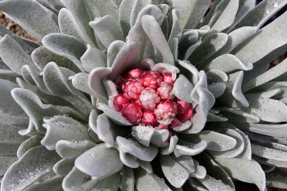 Helichrysum 'Ruby Cluster' - Strawflower