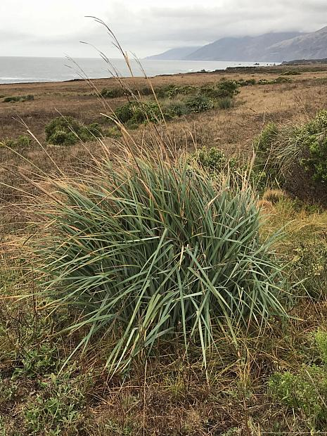 Carex spissa - San Diego sedge