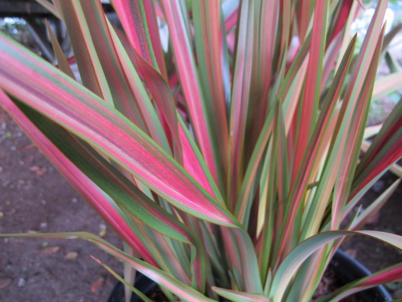Phormium 'Jester' - New Zealand flax