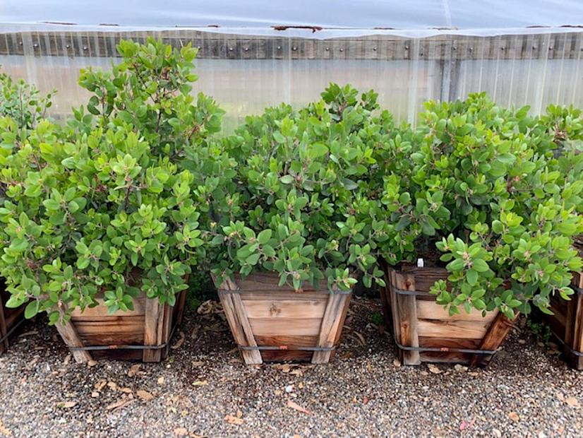 Arctostaphylos glandulosa - Eastwood manzanita