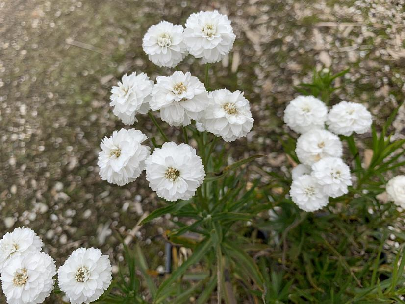 Achillea ptarmica 'Peter Cottontail' - Yarrow