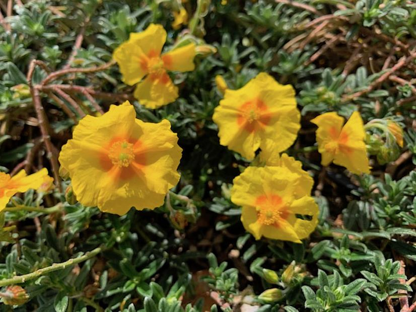 Helianthemum 'Ben Fhada' - Sunrose