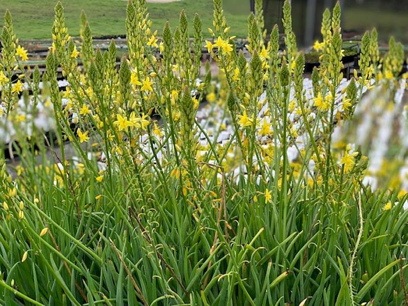 Bulbine frutescens (Yellow) - Bulbine stalked