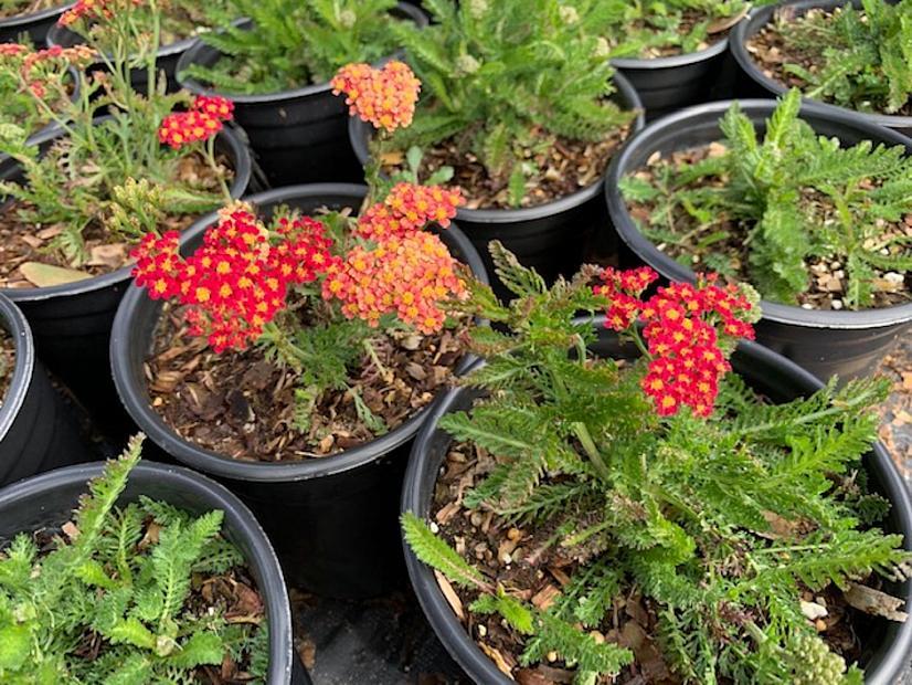 Achillea millefolium Milly Rock™ 'Red' - Yarrow