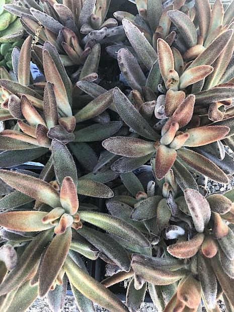 Kalanchoe tomentosa 'Chocolate Soldier' - Chocolate Soldier Panda Plant