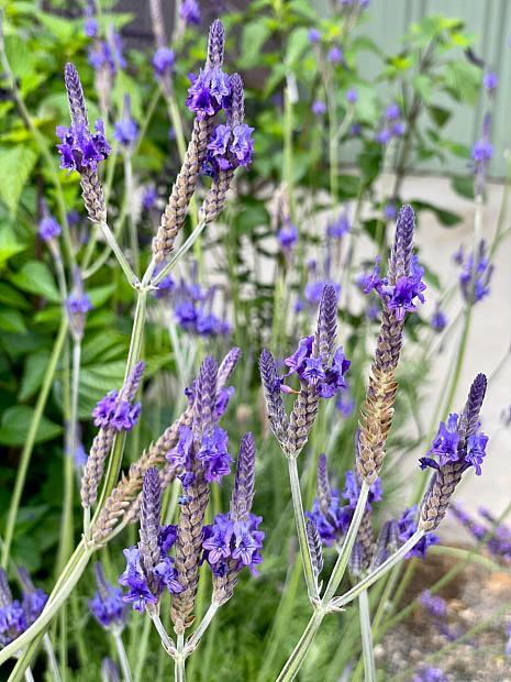 Lavandula x christiana - Lavender