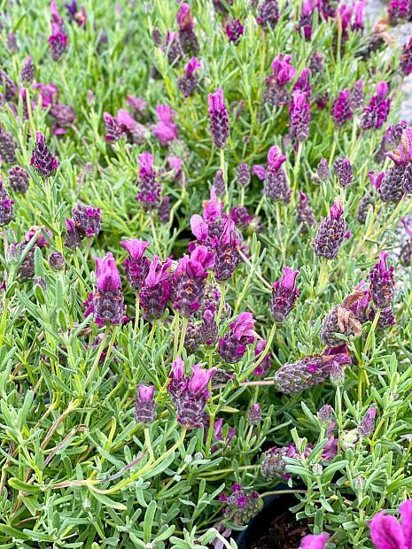 Lavandula stoechas 'Libelle Compact Rose'™ - Libelle Compact Rose Lavender