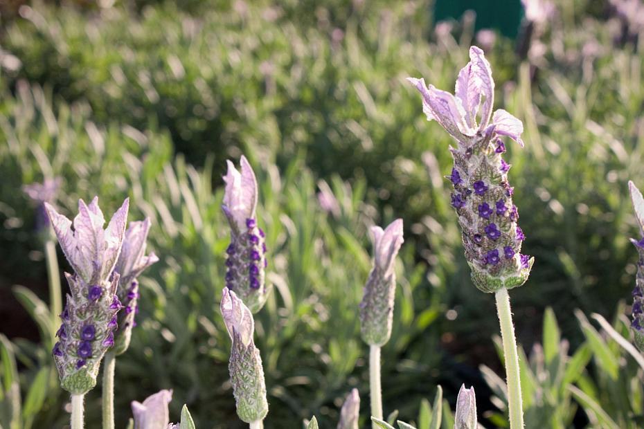 Lavandula stoechas 'Marshwood' - Spanish lavender