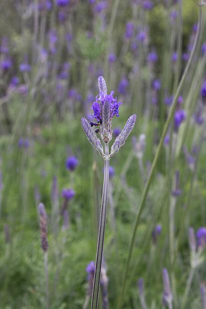 Lavandula pinnata var. buchii - Jagged lavender