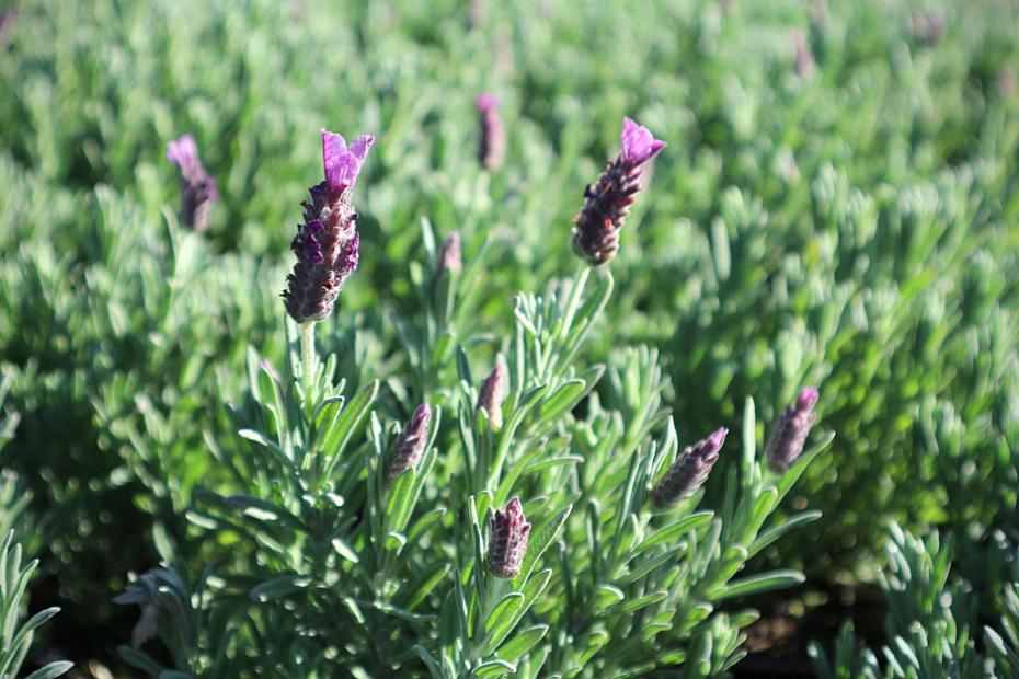 Lavandula stoechas 'Anouk Supreme' - Spanish lavender