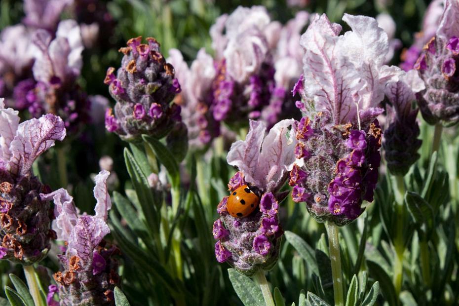 Lavandula stoechas 'Boysenberry Ruffles' - Spanish lavender