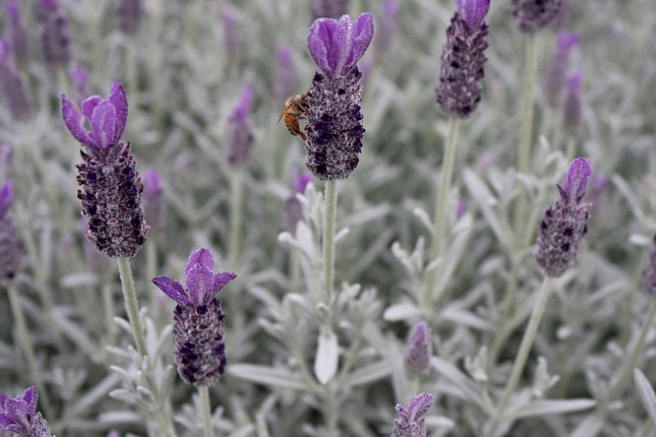 Lavandula stoechas 'Silver Anouk' - Spanish lavender